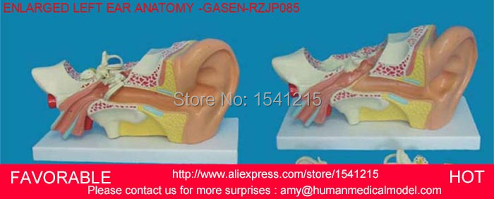 LISTENING TEACHING MODEL,EAR ANATOMICAL MODEL,ANATOMY MODEL,AURICLE,HUMAN ORGANS MODEL LARGE EAR ANATOMY ZOOM -GASEN-RZJP085 ear anatomical model anatomic model labyrinth inner ear vestibular enlargement ear structure model gasen ebh006