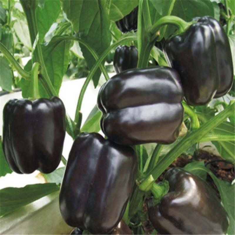 Chocolate Pepper Dwarf Trees Black Pepper Four Seasons Pepper Garden Terrace Potted Bonsai Vegetables 200 pcs.