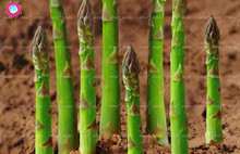 Promotion!10 pcs/bag Real asparagus seeds plant Vegetable and fruit seeds potted home&garden 95% germination rate bonsai flower