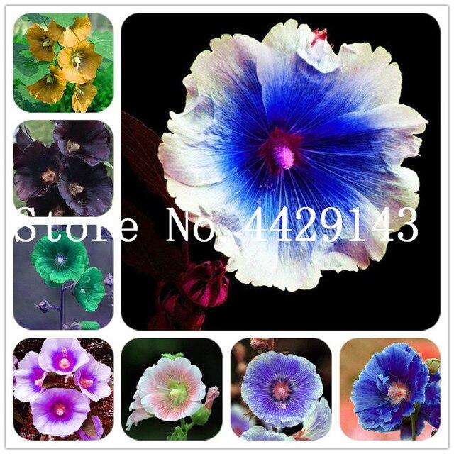 New Arrival 100 Pieceslot Double Hollyhock Flower Plants Perennial