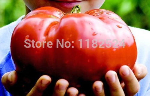 100 SEEDS - GIANT MONSTER TOMATO Seeds Easy Planting Farming Free shipping vegetales Tomate semillas