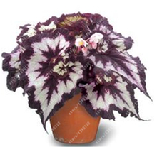 24 colors 100PCS Beautiful Begonia flower seeds flowers potted bonsai garden courtyard balcony Coleus seeds