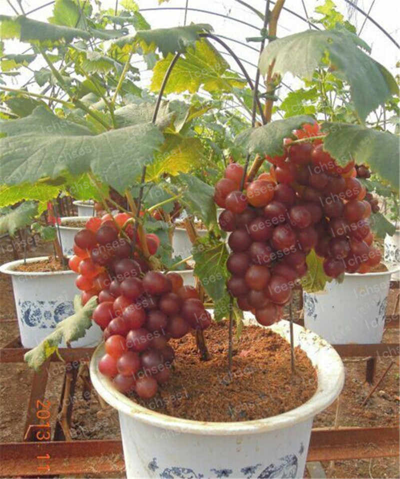 50 Pcs Red Pearl Raisin Fruit Tree Bonsai Orchard Sweet Grape Tree Farm Outdoor Bonsai Plants Potted for Home Garden Supplies