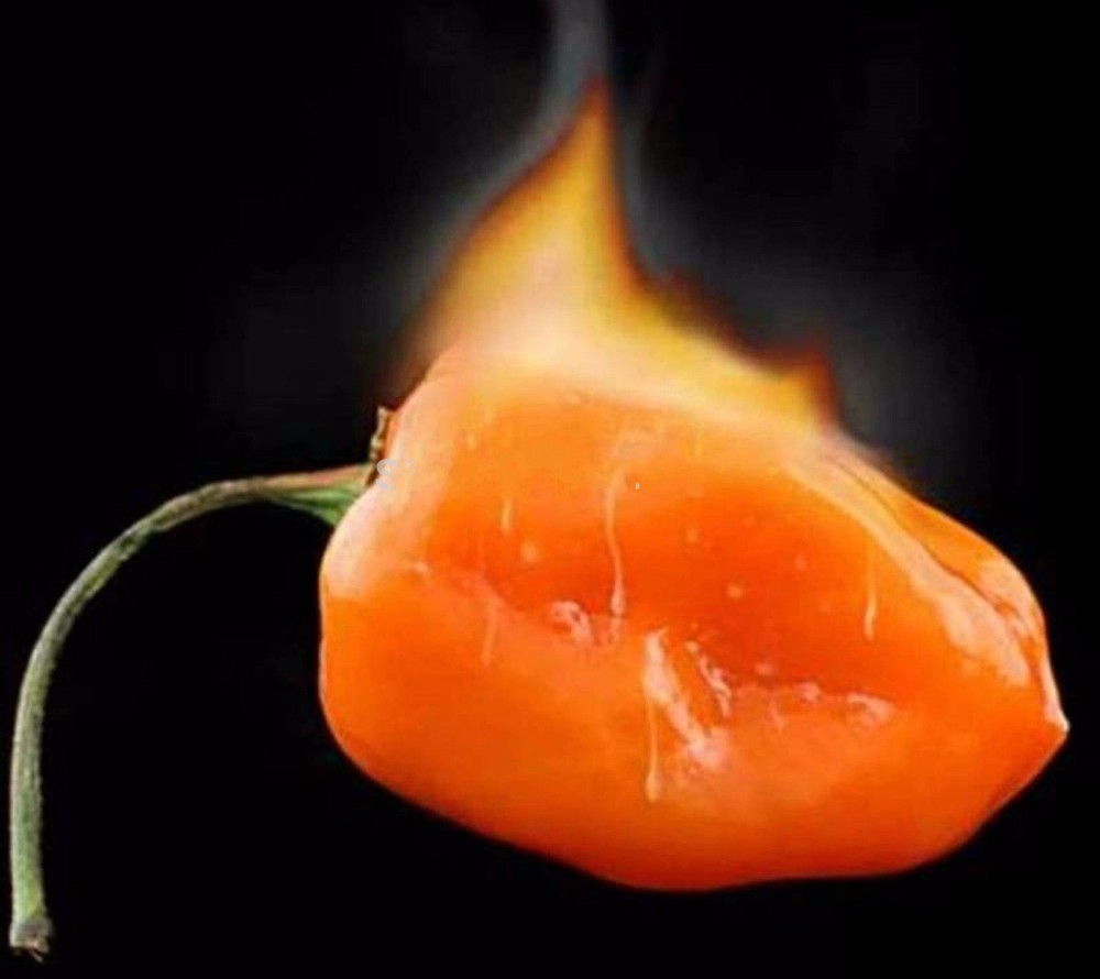 Vegetable seeds Habanero Orange Chilli Pepper Plant - 100 pcs Seeds- Extremely Hot ! ...