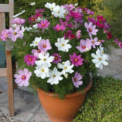 Fiori Bonsai Cosmos Bipinnatus 200 Pz Cosmea Giardino Selvaggio