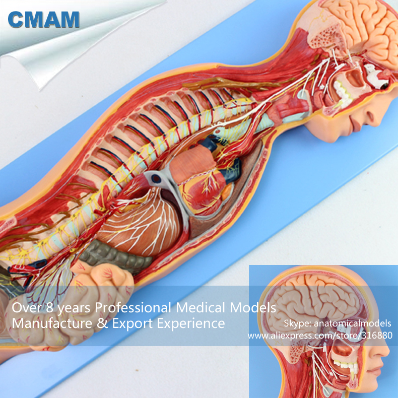 CMAM-BRAIN17 Human Sympathetic Nervous System Study Model , Medical Science Educational Teaching Anatomical Models cmam brain13 anatomy human brain diencephalon model medical science educational teaching anatomical models