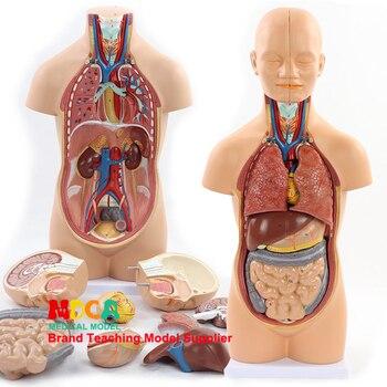 45 cm פירוק 12 חלקי אדם גוף תא מטען האנטומיה דגם כבד מעי קיבה הוראה רפואית MQG102