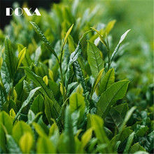 120PCS Keemun black tea Seeds,Organic tea seed,Plant Healthy Bonsai Tea Tree Home Garden(China)