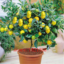 Free shipping 50 LEMON TREE SEEDS WITH HERMETIC PACKING * indoor outdoor AVAILABLE * HEIRLOOM FRUIT SEEDS LEMON seeds