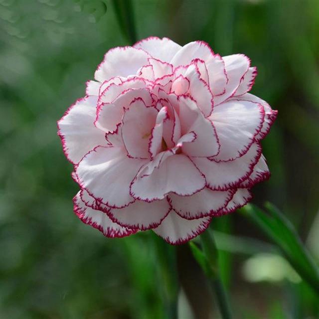 cheap excellent color mezclado clavel semillas de flores hermosas flores preciosas semillas para el jardn de casa with fotos de flores preciosas with fotos - Fotos De Flores Preciosas