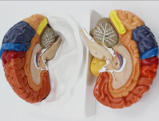 Modèle de cerveau médical division de la fonction cérébrale division corticale anatomie du cerveau humain modèle de division de la couleur du cerveau