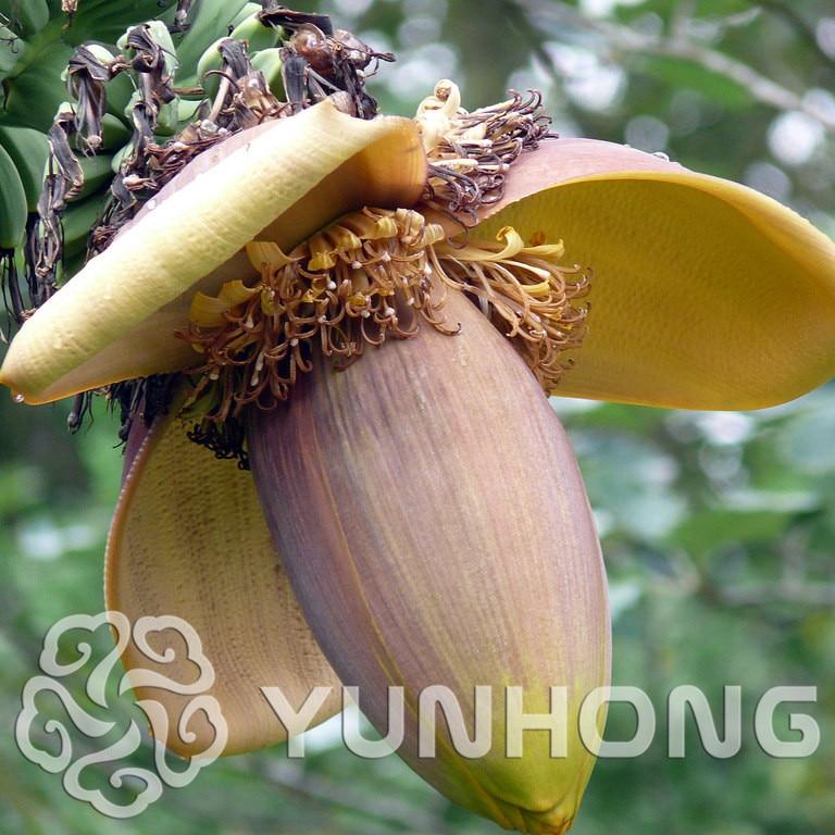 100/bag Banana tree bonsai Fruit plant Rare Small Mini Hainan Chinese Banana plant Musa Dwarf Basjoo Outdoor Garden * plants