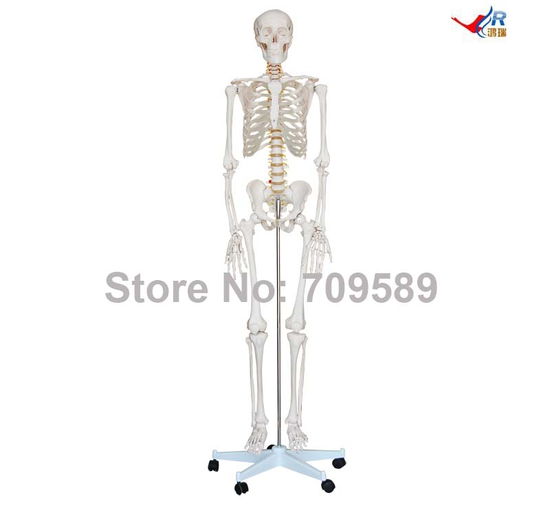 Life-Size Skeleton 180cm Tall, Human Skeleton skeleton with muscles and ligaments 180cm tall the human skeleton with ligament model