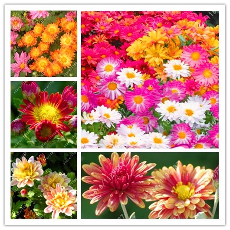 rare fleur graines couvre sol chrysantheme graines de fleurs matures jours qualite fleurs