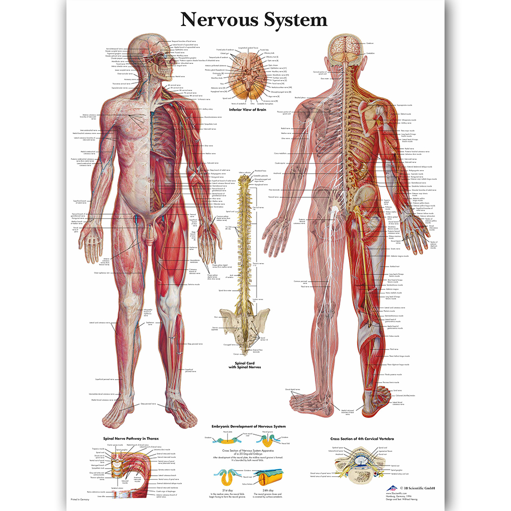 Human Nervous System Chart Poster Map Canvas Painting Wall Pictures