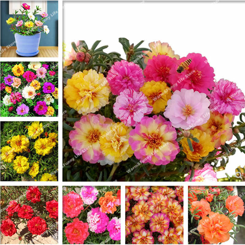 500 Pcs Mixed Sun flower,Moss-Rose Purslane Double Flower Bonsai For Planting (Portulaca Grandiflora)Heat Tolerant Easy Growing