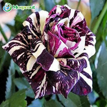 100PCS Purple Dragon Rose Seeds Rare And Beautiful Striped Rose Shrubs Garden or Yard Flower Purple Stripes(China)