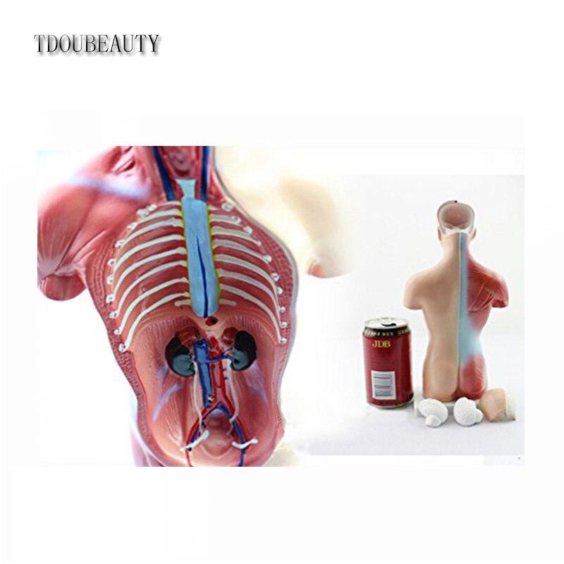 15 piezas primaria y secundaria de 26 cm Torso humano modelo ...
