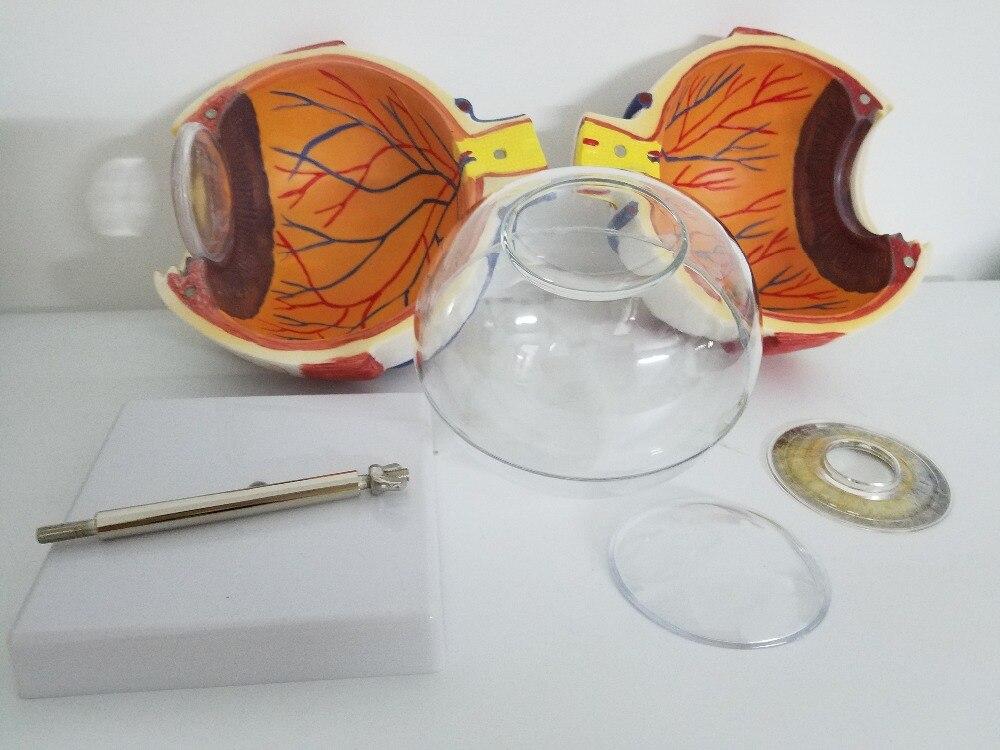 Teaching supplies Eyeball Model 6X  Anatomical Model Organ Anatomy Human Specimens Model Medical Science Teaching Resources