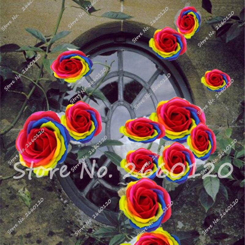 Rrare Exotic 10 Pcs Rose plants , Rainbow Roses Bonsai Flowers plants perennial garden jardim plante for Home Garden Decor  2