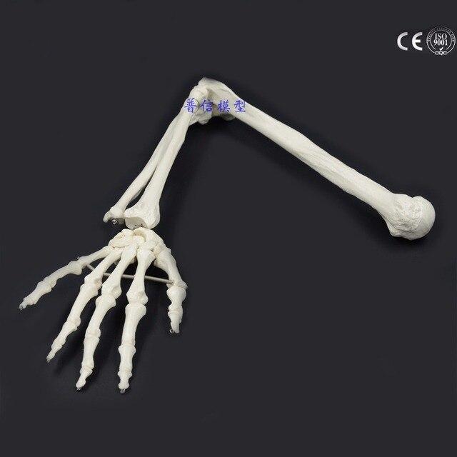 Модель человеческой кости в масштабе 1:1, устройство для измерения внутренней длины и радиуса руки, медицинская наука, школьные учебные принадлежности