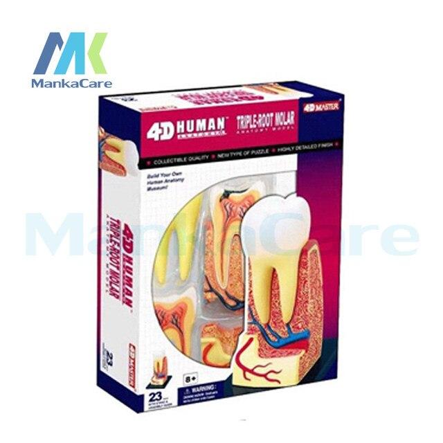 Tienda Online Estructura del diente publica maestro 4D asamblea ...