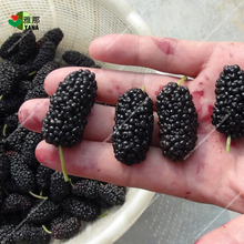 100pcs/bag black mulberry seeds,mulberry tree seeds,Organic Heirloom vegetable fruit seeds,sweet and heathy, for home garden
