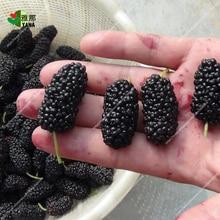 цена 100pcs/bag black mulberry seeds,mulberry tree seeds,Organic Heirloom vegetable fruit seeds,sweet and heathy, for home garden онлайн в 2017 году