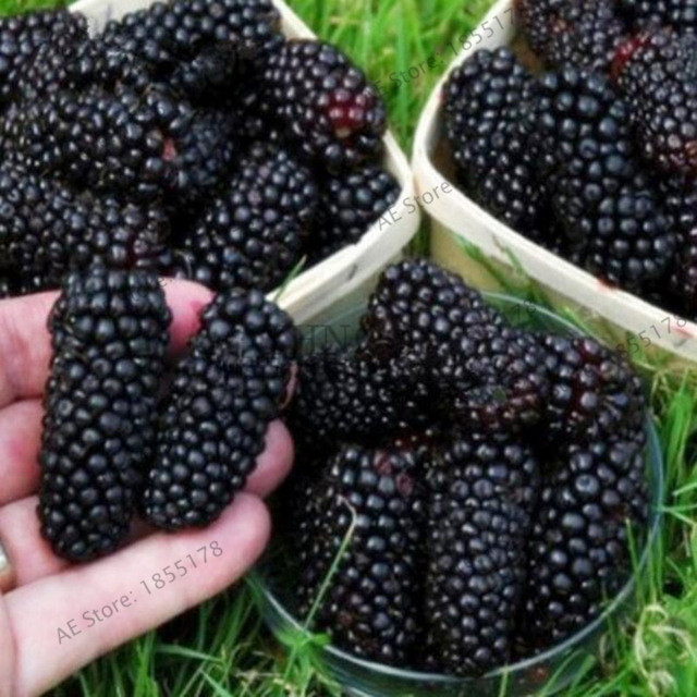 Nieuw Verse bonsai 200 pcs / lot zoete zwarte bes gigantische blackberry Heirloom Blackberry plant triple Crown Blackberry Black Mulbe