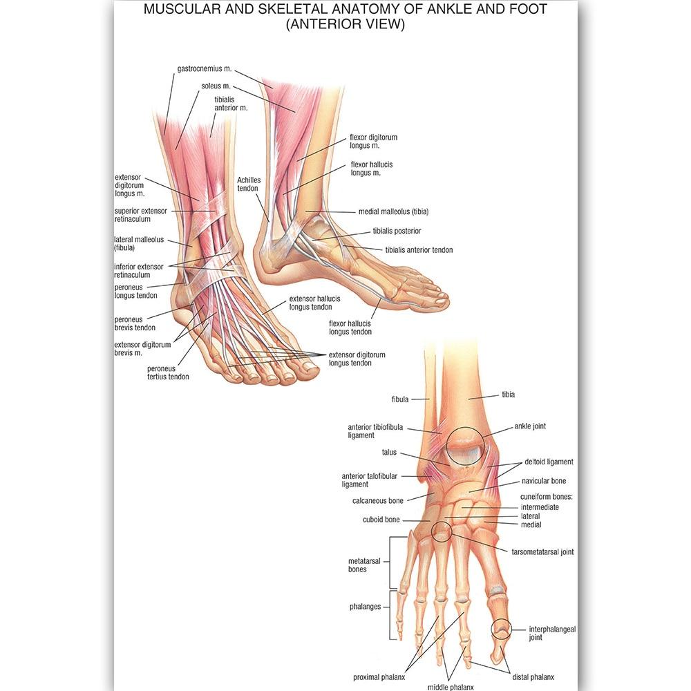 Ziemlich Muskel Anatomie Des Fußes Fotos - Anatomie Von Menschlichen ...