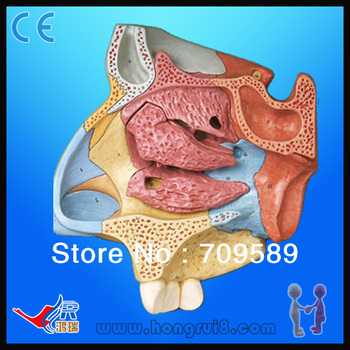 ISO Advanced High Quality Median Sagittal Section of Nasal Cavity