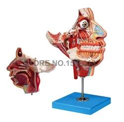 Modelo de anatomía de dos lados de cabeza y cara, músculos, nervios y vasos en el modelo de cráneo Facial