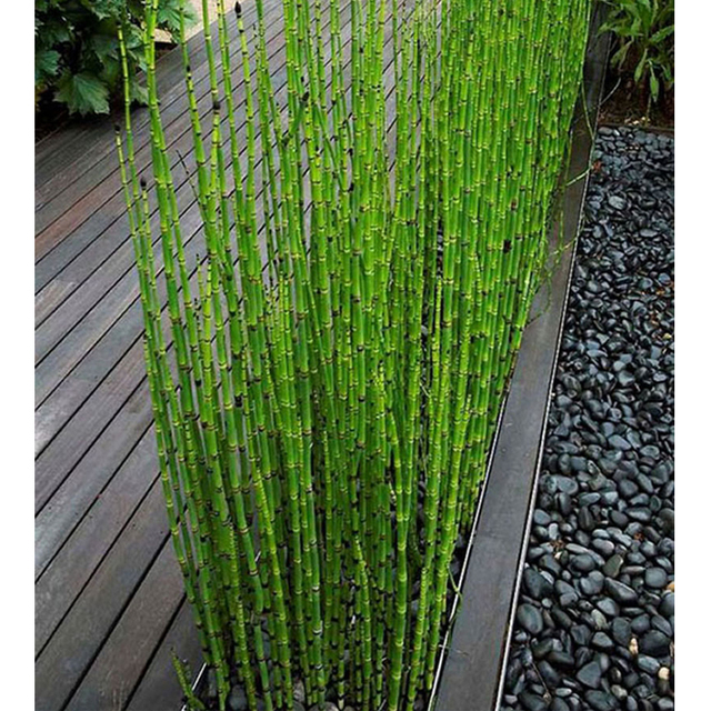 Zlking Can Be Grown Indoors Fresh Moso Bamboo Tree 60pcs Diy Home Garden