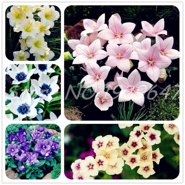 100 pcs Japanese Platycodon Grandiflorum Plant Outdoor Mix Rare Color Fresh Flower Bonsai Charming Plant for Home & Garden Decor