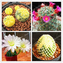 200Pcs/Bag Rare Cactus Plant Bonsai Japanese Succulents Flowers Sementes Potted Plants Indoor Beautiful