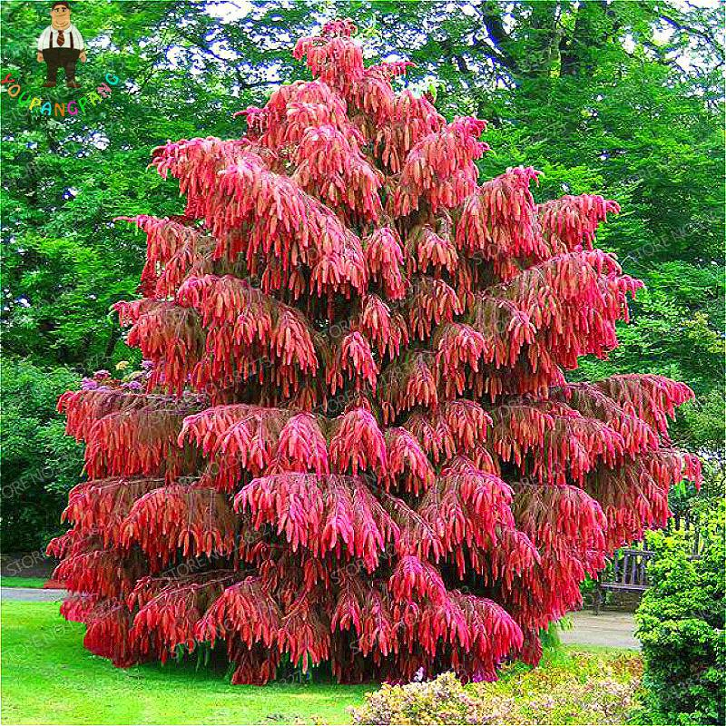 rare japan red cedar seeds home jardin perennial woody plants bonsai seeds potted china garden. Black Bedroom Furniture Sets. Home Design Ideas