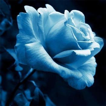 Światła niebieska róża Bonsai w magazynie ogród rzadko nasiona rośliny 100 sztuk tanie tanie i dobre opinie Bukiet ślubny 3inch 0 2kg COTTON