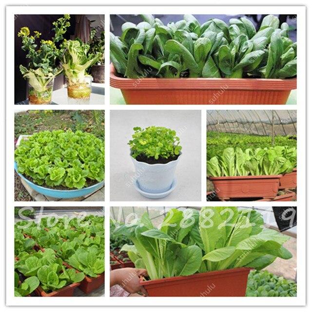 200 Pz Cinese Cavolo Seeds Brassica Alboglabra Cavolo Senape ...