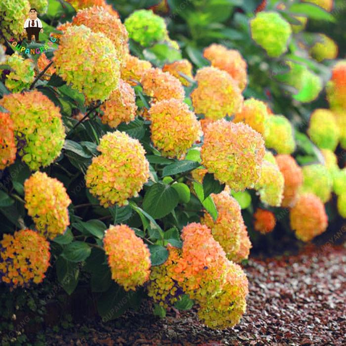 30 шт. Редкие Желтые растения гортензии смешанные цветы гортензии дома завод Бонсай Калина цветок для дома и сада