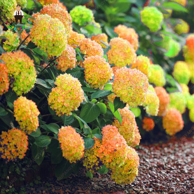 30pcs Rare Yellow Hydrangea Plants Mixed Flowers Home