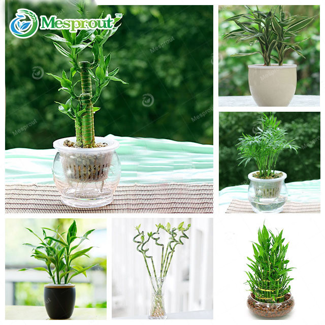 30PCS Lucky Bamboo  6 Kinds Can Be Choose Potted Bonsai Variety Complete Dracaena Bonsai The Budding Rate 95%