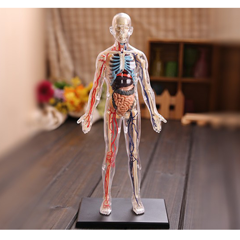 4d Master Skin Section Anatomy Model Anatomy Medical Human Head Kidney Skull Skeleton Model Science Educational Toys Action & Toy Figures