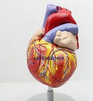 Увеличить человека Анатомическое Сердце Анатомия внутренностей Спецодежда медицинская модель + подставка