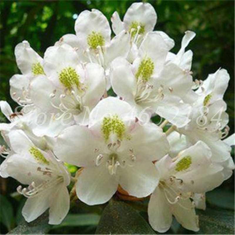 100 pcs/ bag Japanese Azalea Bonsai,Rhododendron Azalea Flower Bonsai Tree Plants DIY Planta Home Garden Flower Pot Easy to Grow