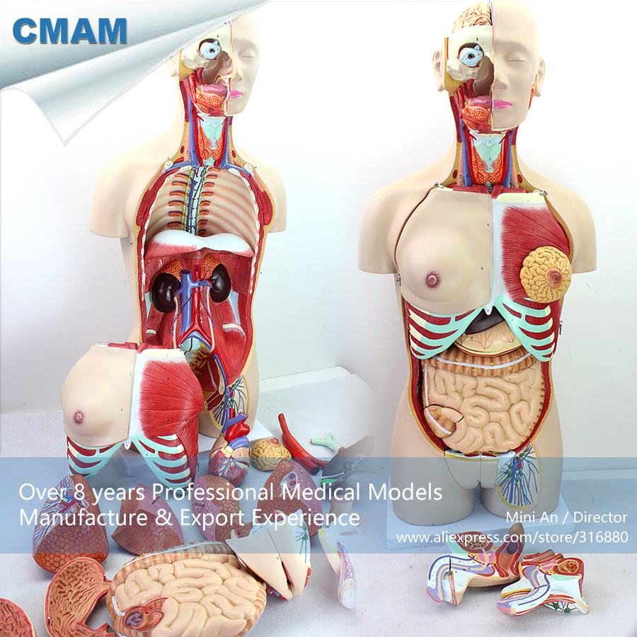 CMAM-TORSO04 Medical Education Tool Model Torso Dual-Sex - 29 Parts, Medical Science Educational Teaching Anatomical Models lego education 9689 простые механизмы