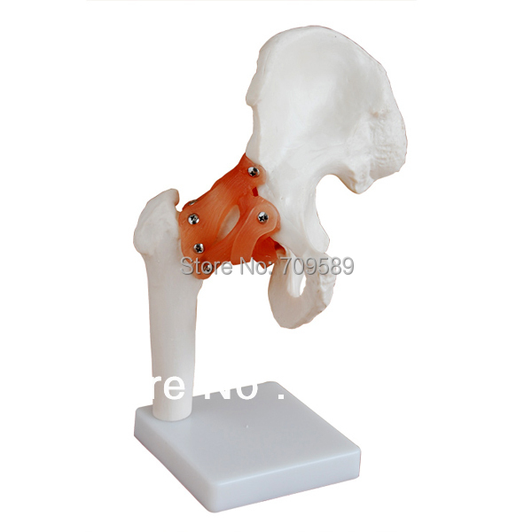 ISO Life-Size Hip Joint Model, Anatomical Hip Model цена