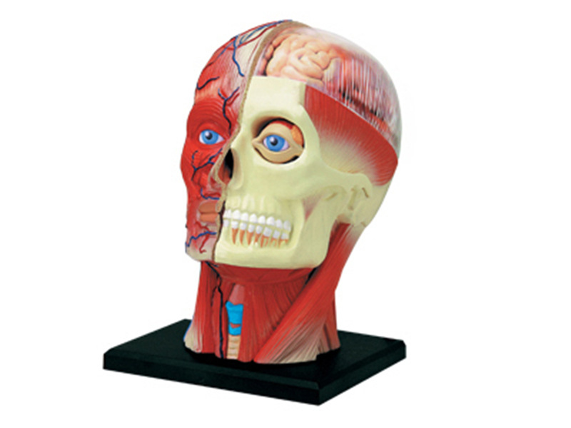 4D Human Head Muscular Nerve Organs Assembling Puzzle Toys Medical Teaching Model Manikin Science Anatomical Model