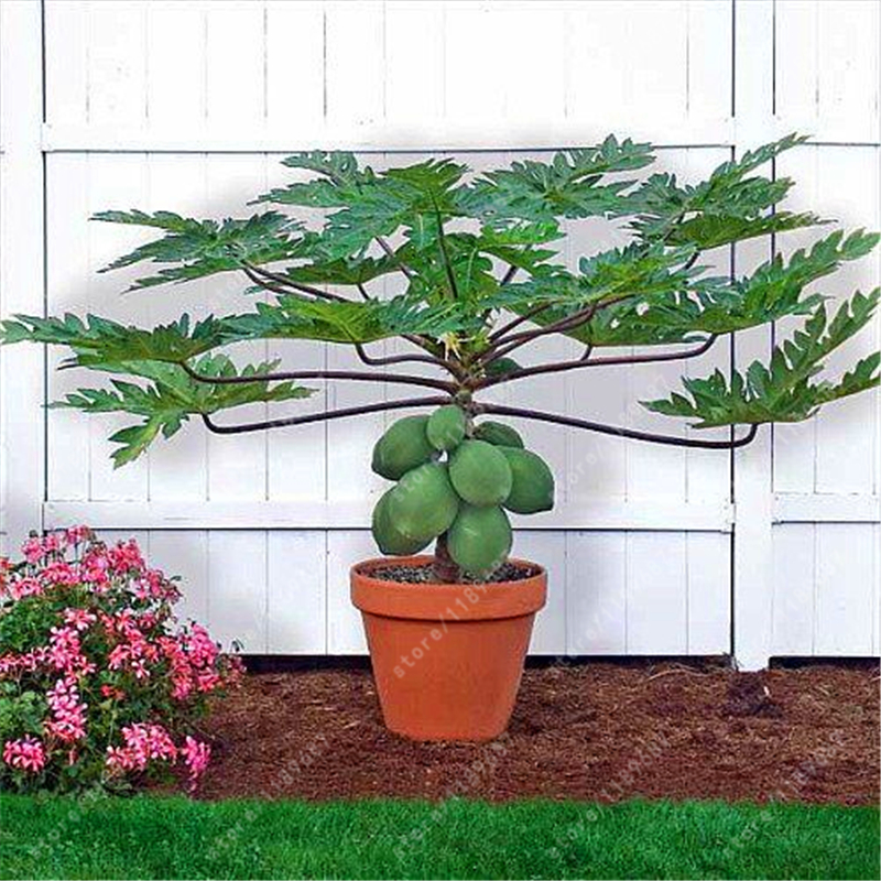 30pcs/bag papaya seeds Organic heirloom vegetable fruit seeds bonsai tree seeds edible plant for home garden