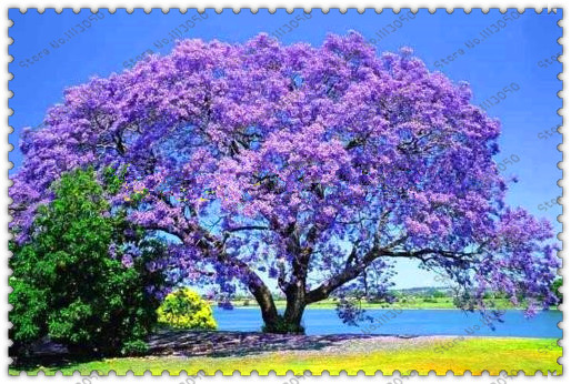 100 pcsbag paulownia seeds princess tree or empress tree rare 100 pcsbag paulownia seeds princess tree or empress tree rare purple flower mightylinksfo