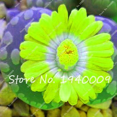 200pcs Mix color Succulent flores cactus flower plantas garden bonsai plant rare flower cactus mini plant succulent,Easy to Grow